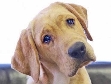 como saber se meu cachorro esta com dor de ouvido 370x280 - Como saber se meu cachorro está com dor de ouvido?