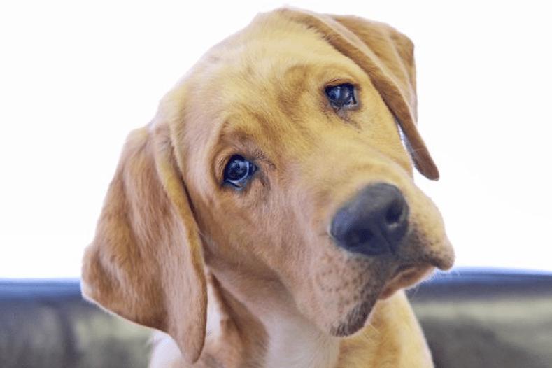 como saber se meu cachorro esta com dor de ouvido - Como saber se meu cachorro está com dor de ouvido?