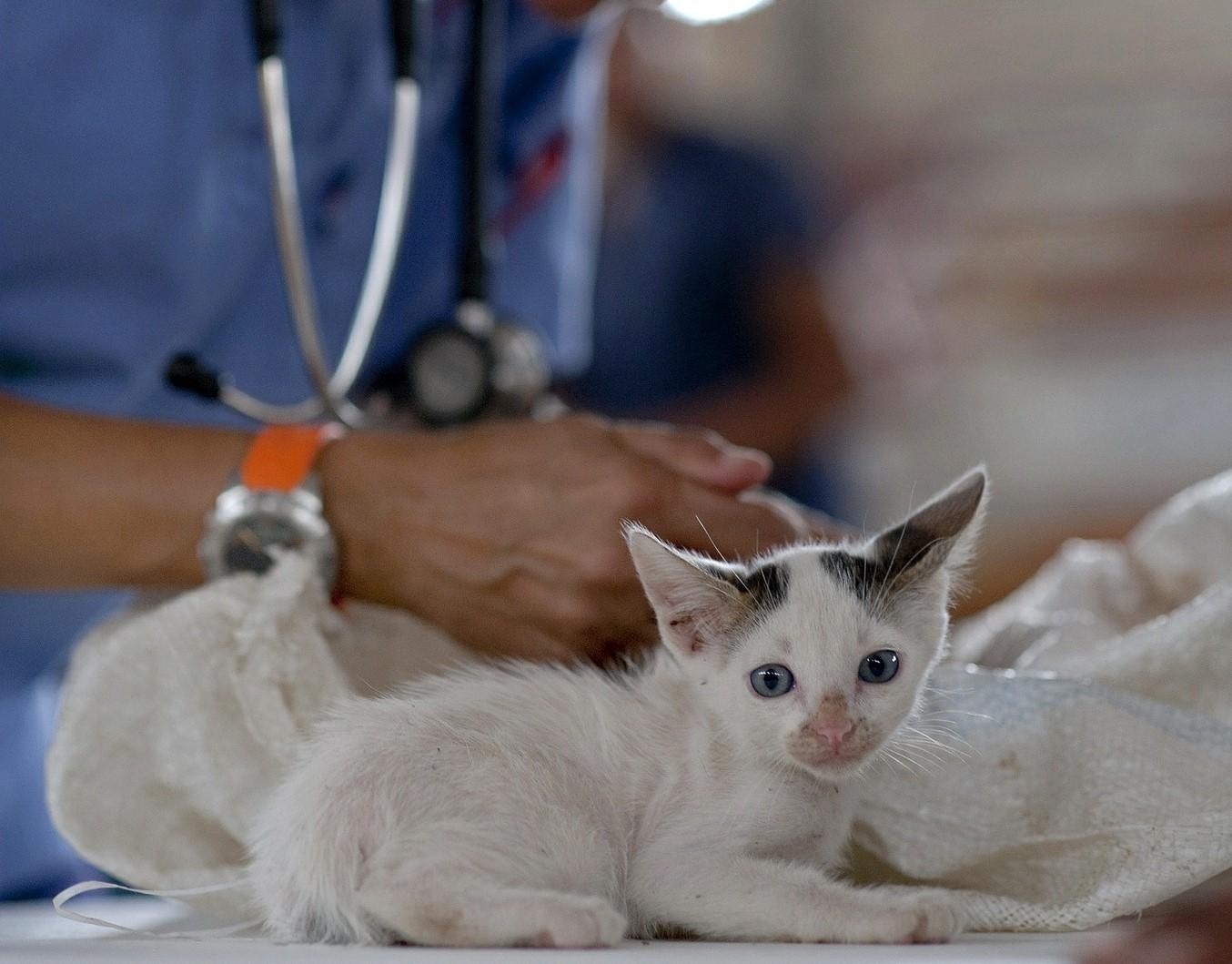 Doenças cardíacas gato