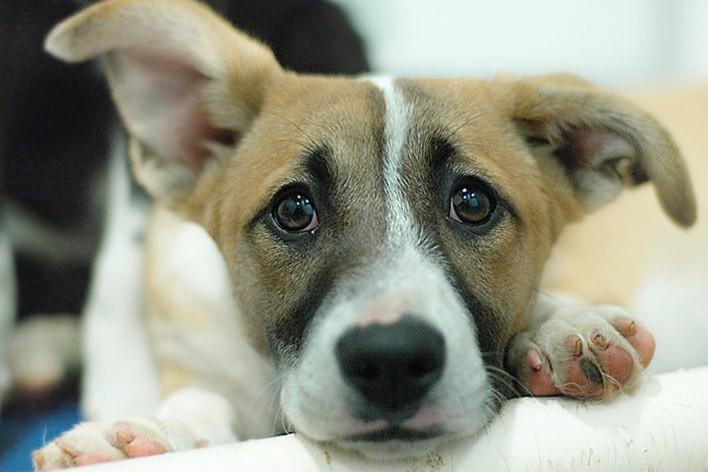 leishmaniose visceral canina 03 - Revista Cães e Gatos: Leishmaniose é necessário ficar atento