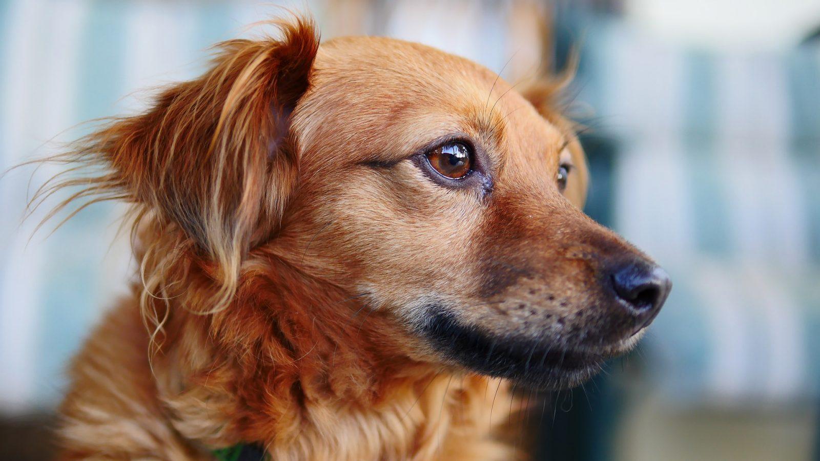 Olho vermelho cães e gatos