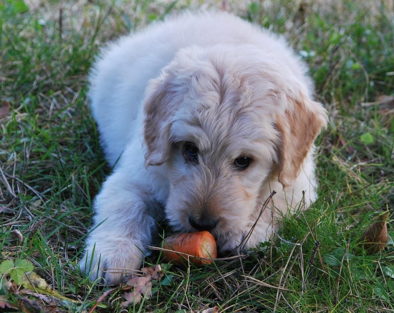 alimentacao natural - Petiscos saudáveis para cães: na onda da alimentação natural
