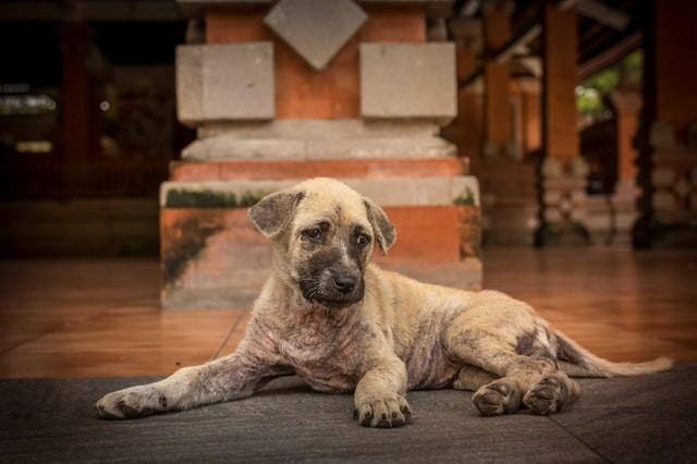 coceira em caes - Pet Care aplica o Cytopoint: novo remédio contra a dermatite atópica canina