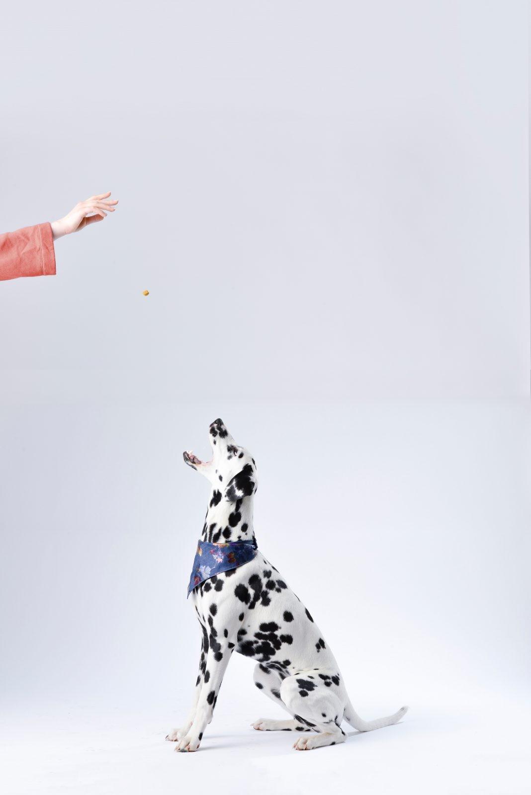 dalmatian sitting white surface 933498 - Você já levou seu cão ou gato ao nutricionista?