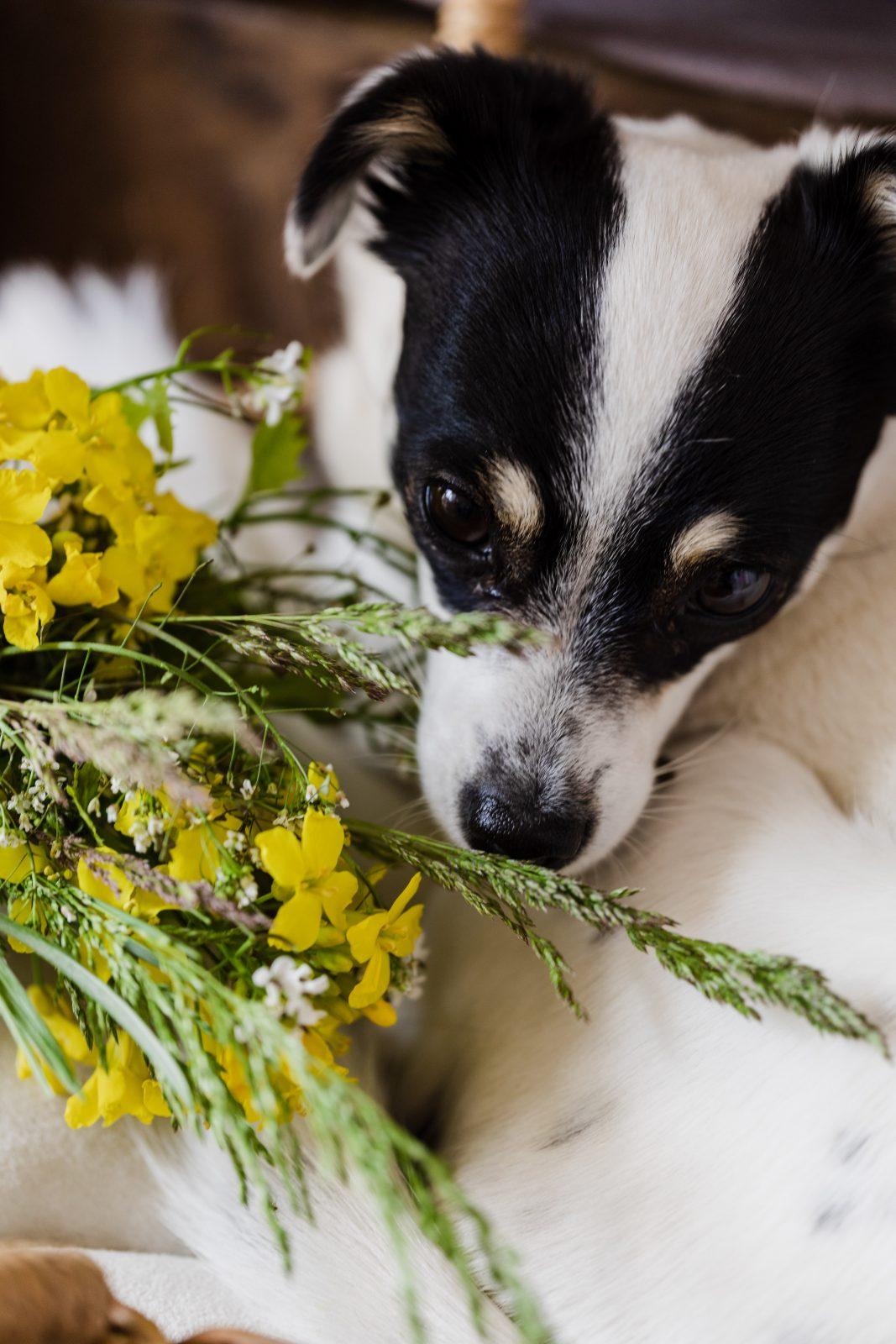 cute dog with bunch of yellow wildflowers 4466626 - Jardins e vasos ornamentais escondem perigos tentadores para cães e gatos