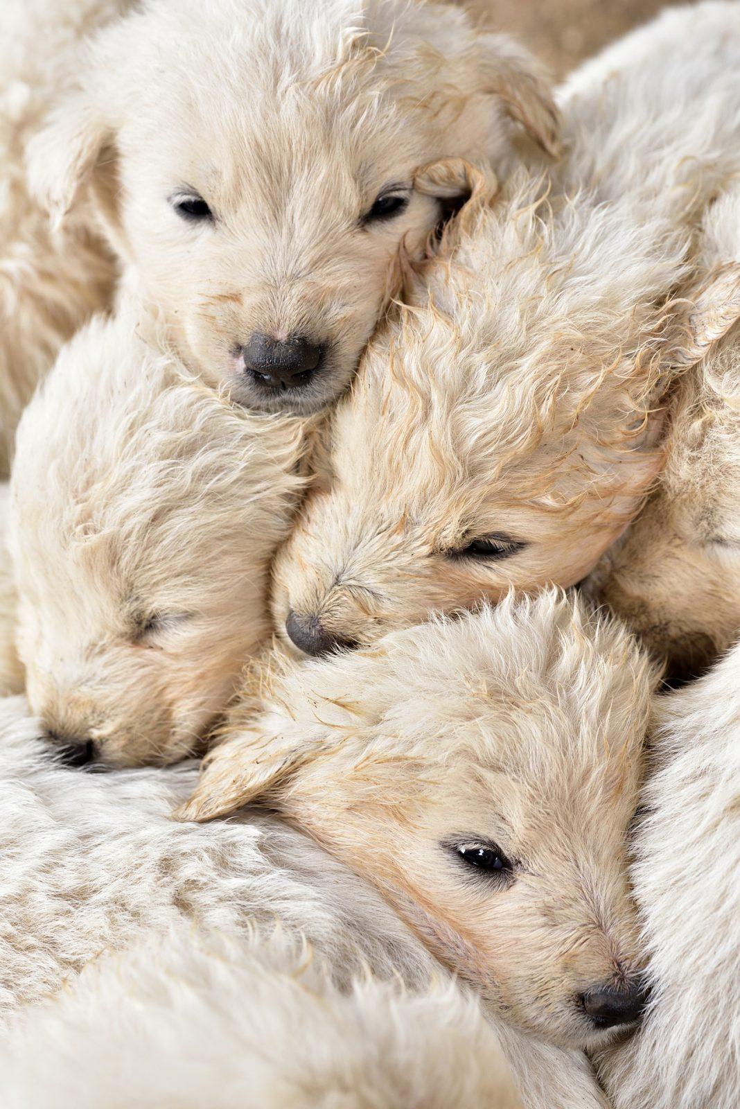 puppies 4231472 1920 - Cuidados com os filhotes de cães e gatos recém-nascidos