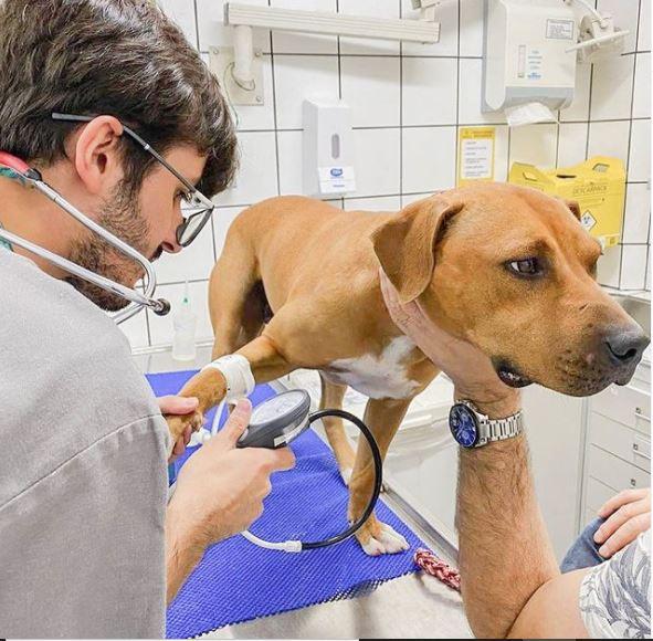 10 de marco de 2020 - O Bangkok foi um dos pitbulls resgatados de uma rinha em São Paulo.