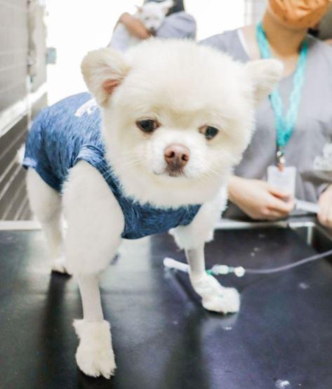 16 de agosto de 2020 - Esse pequeno é o Otto. Ele é um Spitz de cinco anos de idade que é atendido no Pet Care Ibirapuera por causa de um problema das plaquetas.