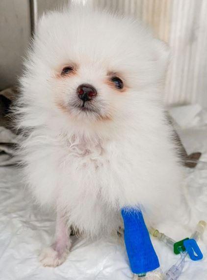 4 de junho de 2020 - Esse é o Floquinho! Ele ficou internado no Pet Care Ibirapuera com parvovirose canina, uma doença que pode ser fatal.
