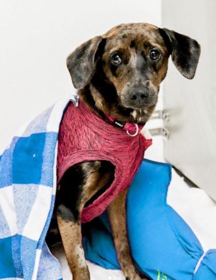 4 de novembro de 2020 - Amora foi adotada pela Dra. Carla no começo da quarentena e esteve no Pet Care Morumbi para sua castração.