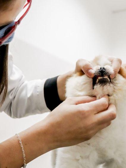 avaliacao oral dental - Avaliação oral cães e gatos