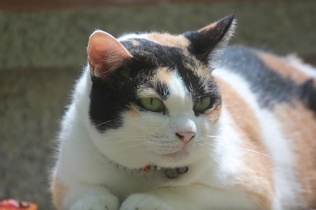 fat cat 1391358 640 - Meu pet está obeso, e agora?