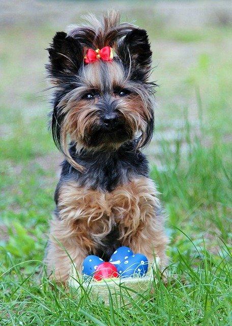 yorkie 2390554 640 - Como esconder os ovos de páscoas das crianças e dos cachorros?