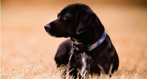 cuidados cao adulto - Cuidados essenciais para o seu cão adulto
