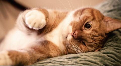 cuidados gato adulto - Cuidados essenciais para o seu gato adulto