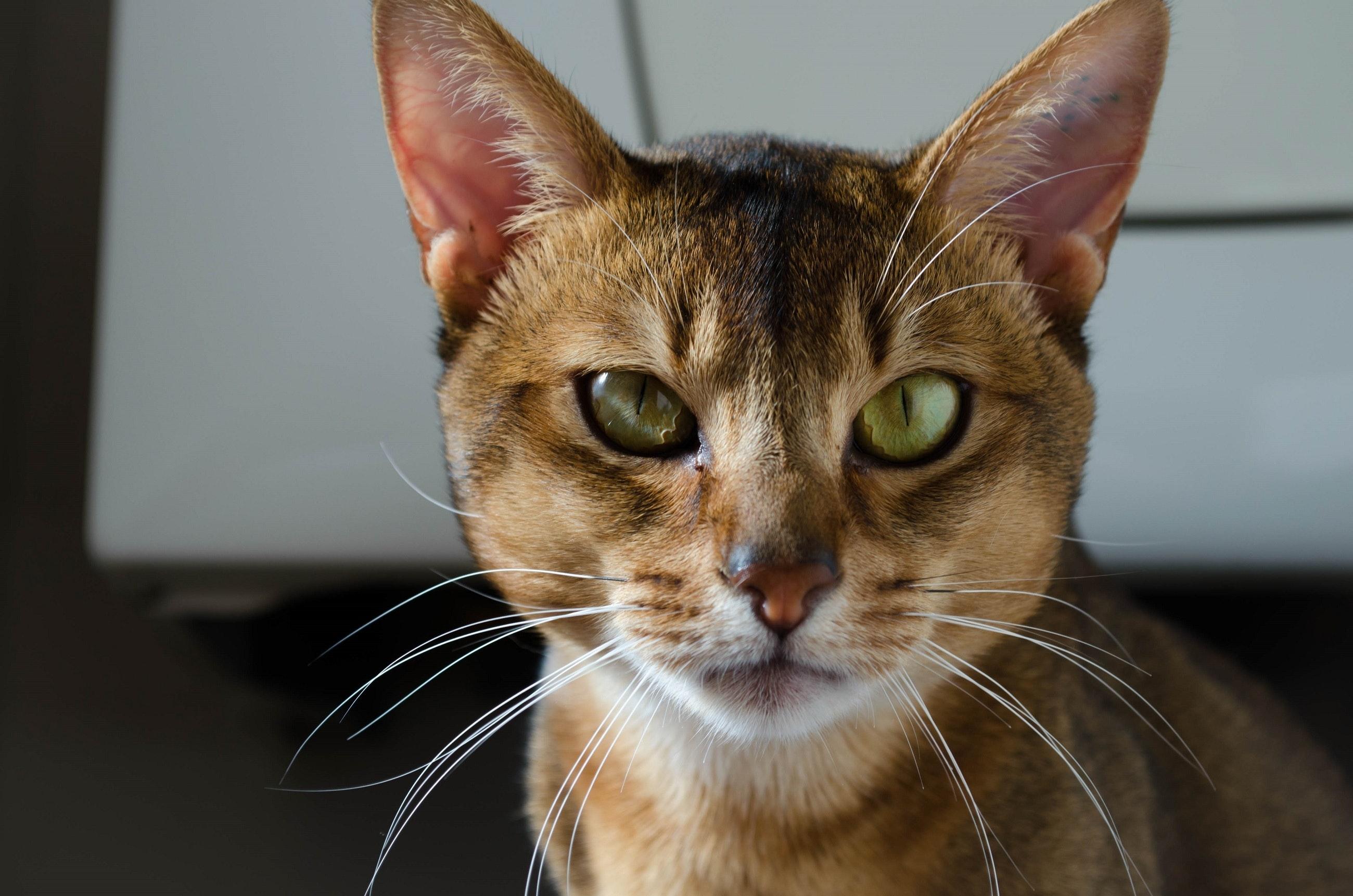 abissinio - Conheça o gato Abissínio