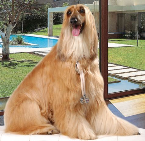 cao - Conheça o cão Galgo Afegão