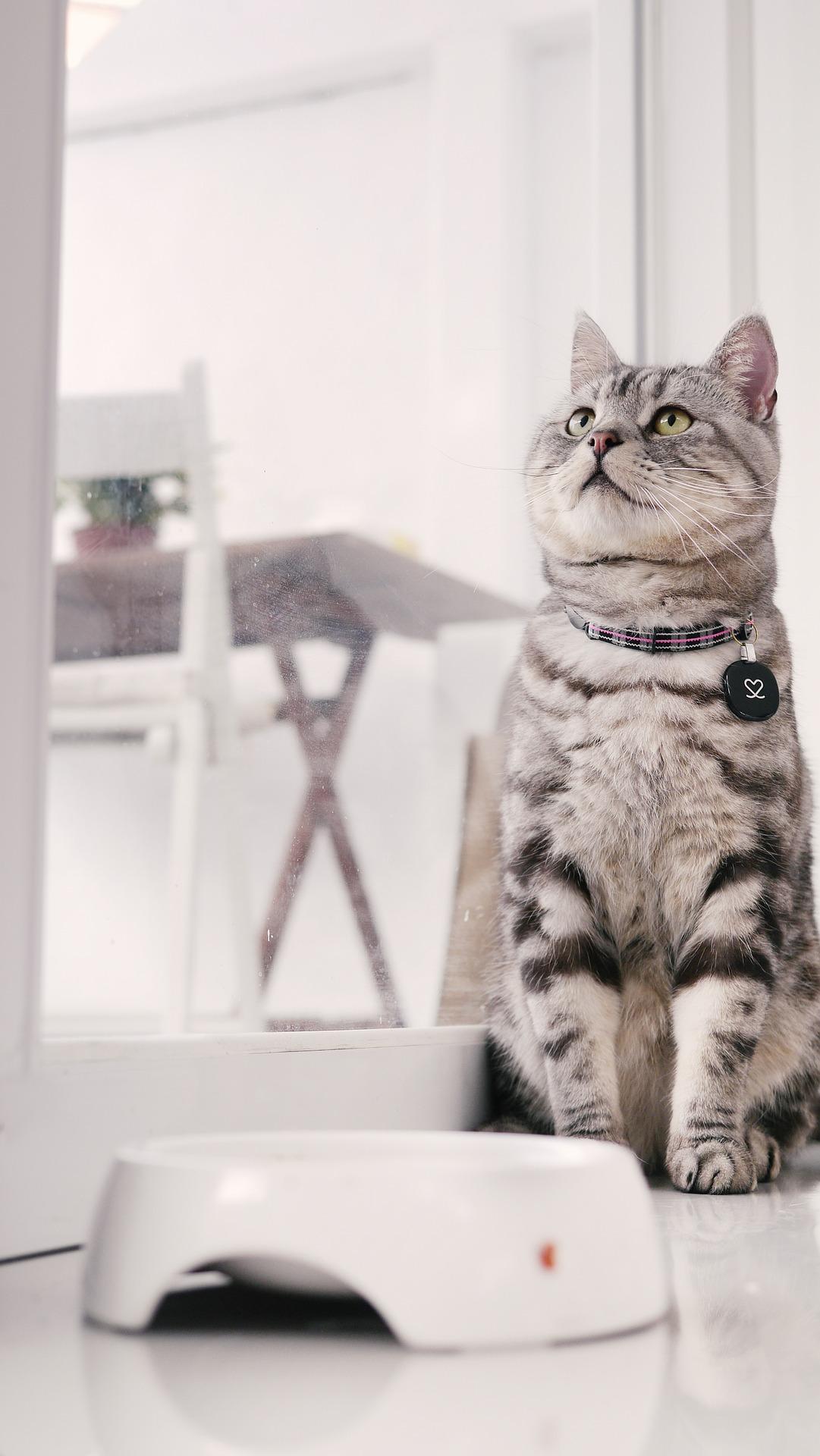 cat 703408 1920 - Conheça o gato American Shorthair