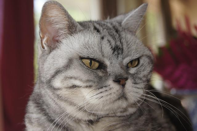 american shorthair 6304288 640 - Conheça o gato American Shorthair