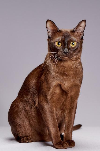 animals 3273782 640 - Conheça o gato  Burmês