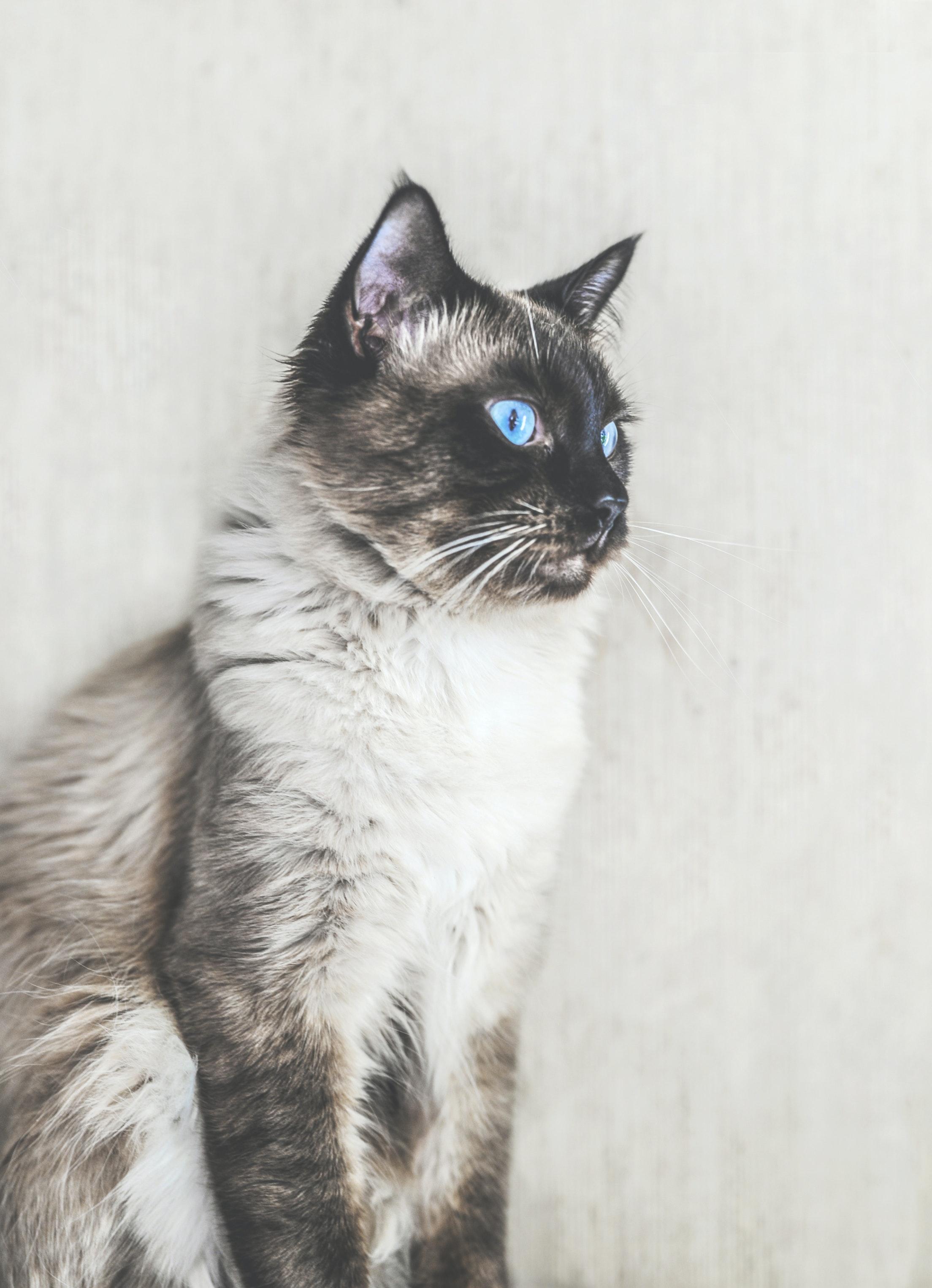 pexels monicore 2888645 - Conheça o gato Balinês
