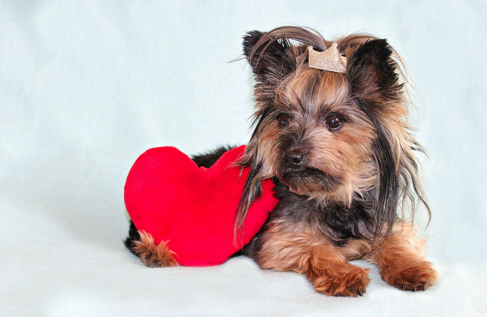 yorkshire terrier 3998864 1920 - Doenças cardíacas em cães são mais comuns do que as pessoas imaginam